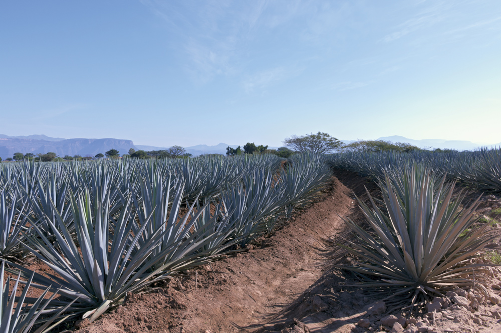 bigstock-Blue-Agave-Field-In-Mexico-58138175