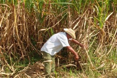 sugarcane6sml