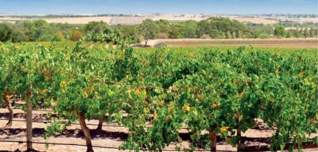 Grapevines in Barossa