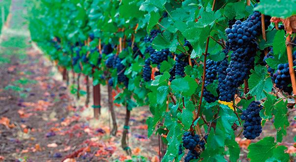 pinot_noir_grapes