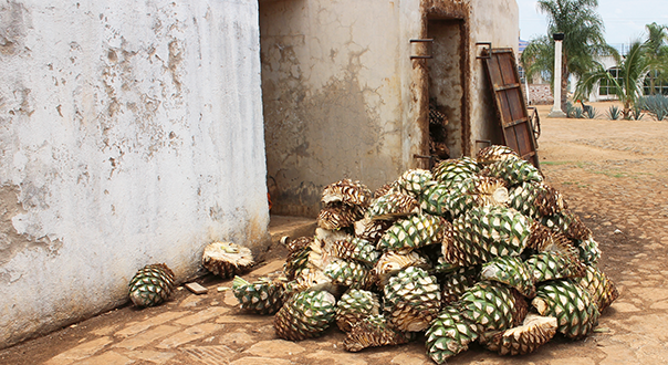 tequila-agaves