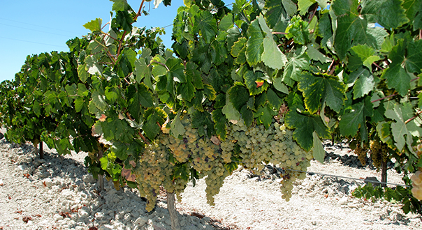 sherry-grapes
