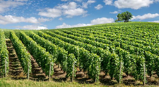 champagne-vineyards