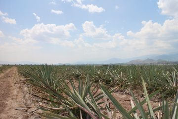 AMORES-agave-field
